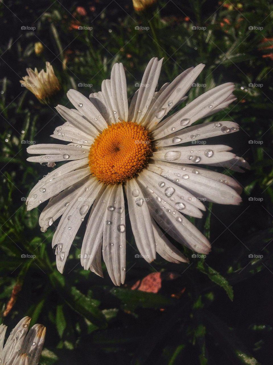 Morning Dew Daisy . Daisy