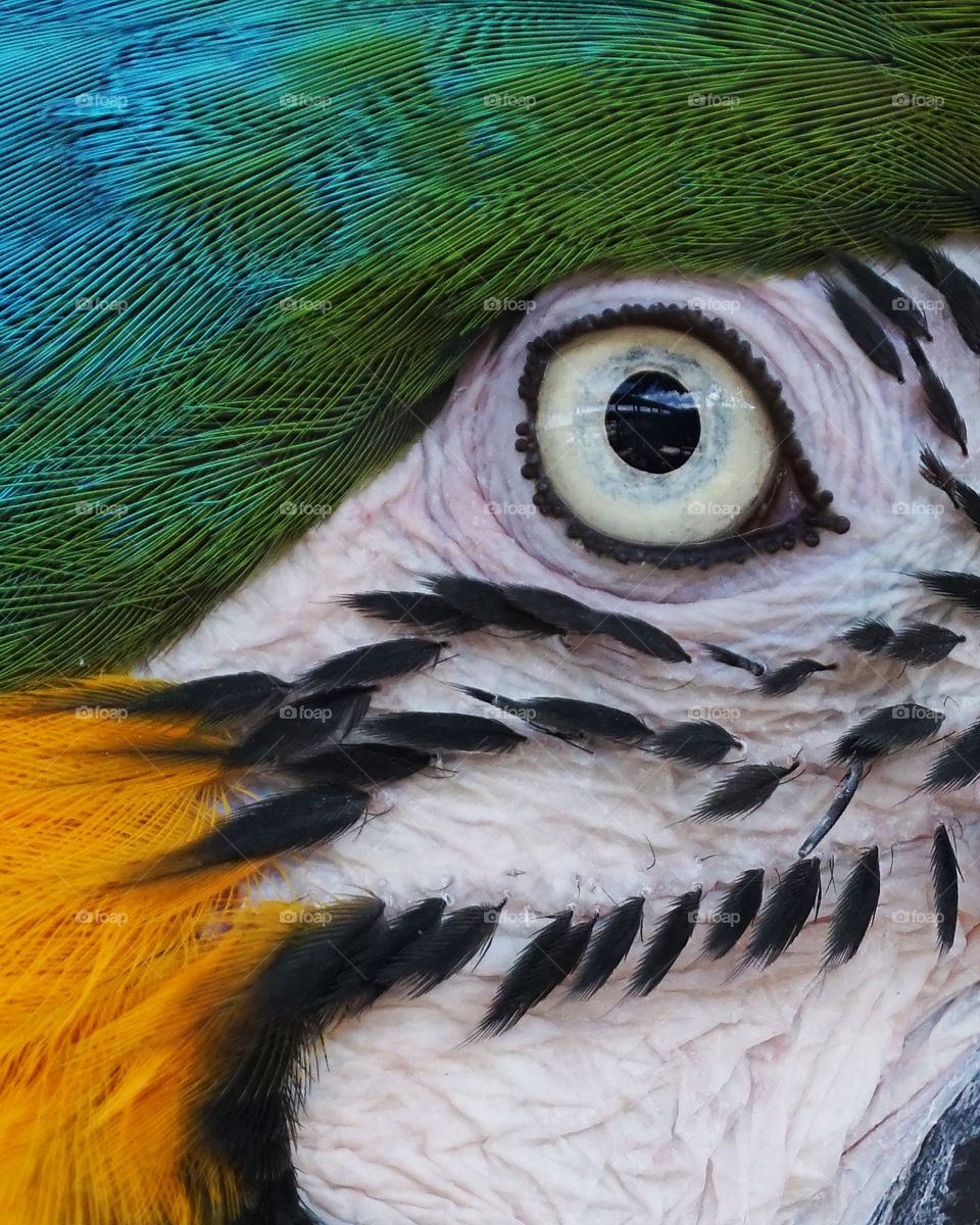 Blue and yellow macaw eye and surrounding markings close up