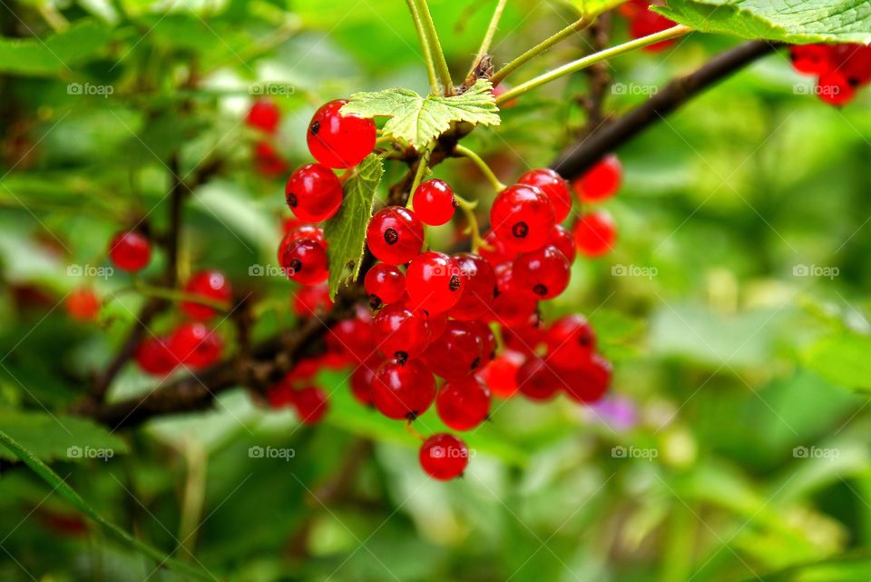 Close-up of red currant
