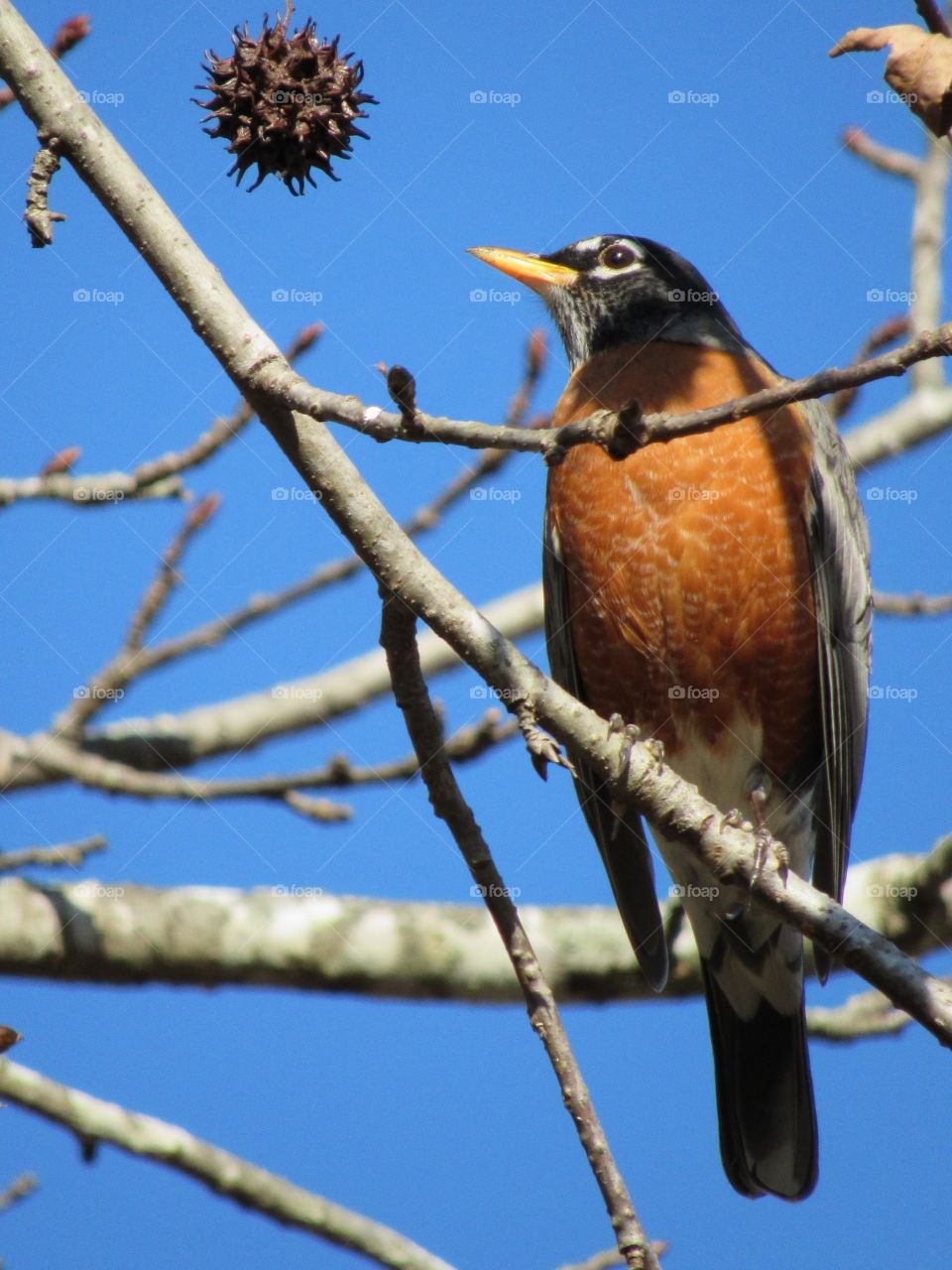 American Robin on a sweet gum tree in January of 2019