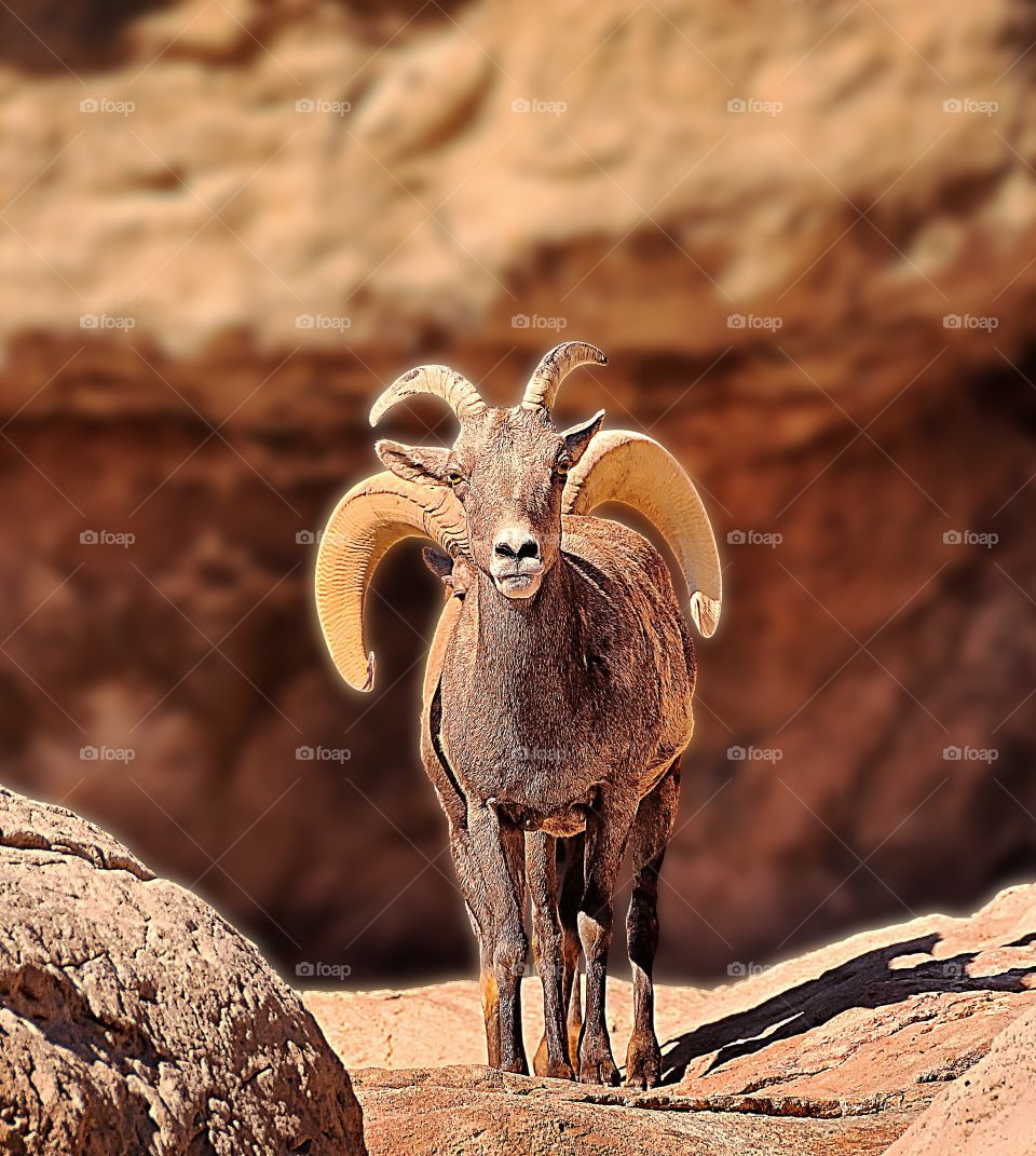 Peek-a-boo Ibex two. Portrait of an Ibex - or is it? Count the horns and count the feet!
