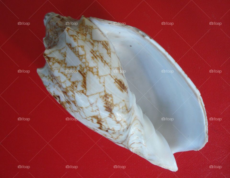 The Seashell on the Red Background