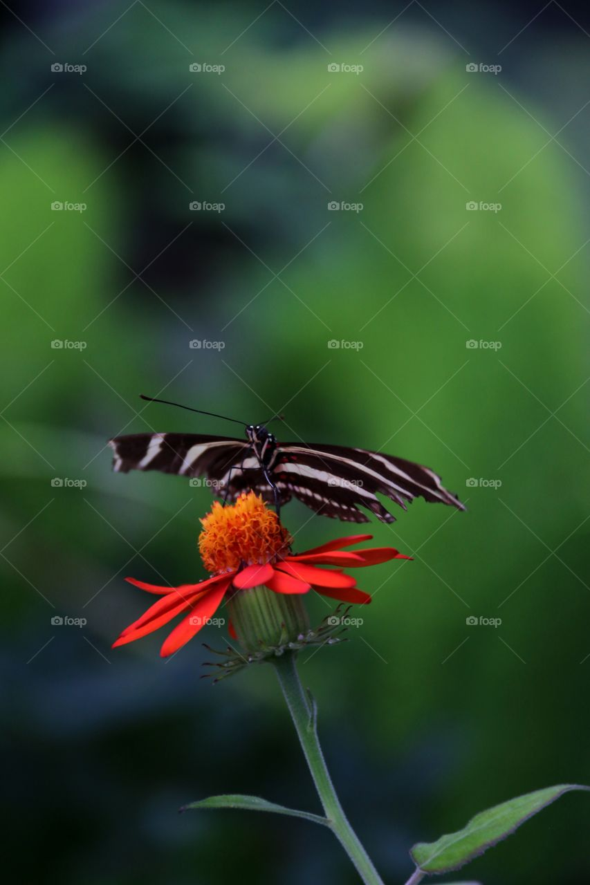 A stunning macro of a zebra like a black and white stripe patterned swallowtail butterfly
