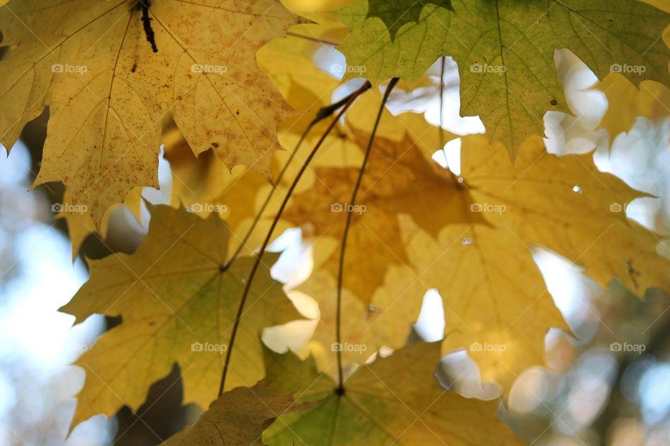 Fall, Leaf, Maple, Season, Nature