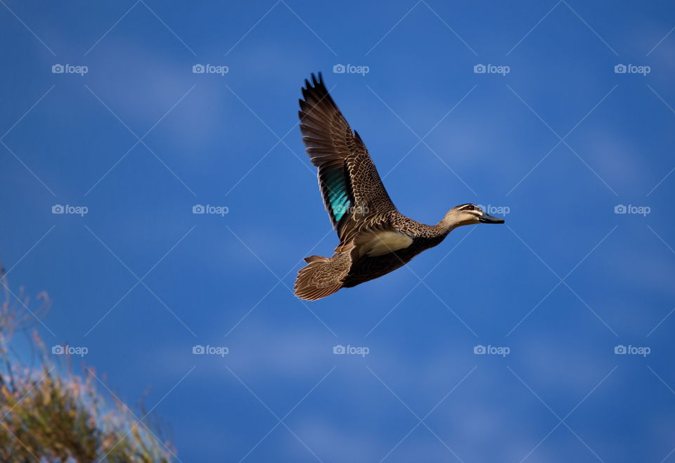 Pacific black Duck in flight in Perth country