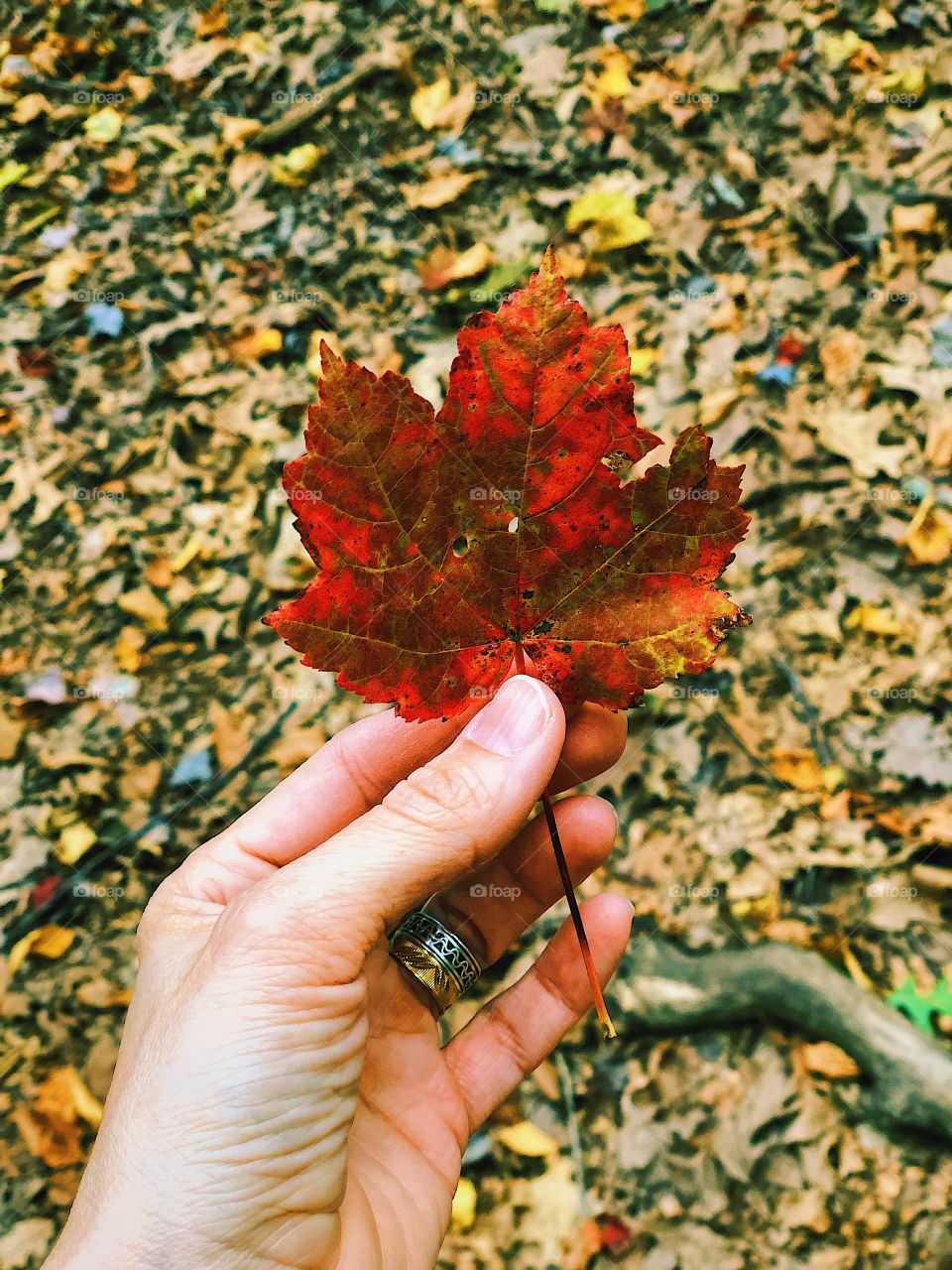 First Signs Of Autumn, Red Leaf In Woods, Red In The Forest, Leaves Changing Color, Fall Time In New York, Cold Springs Harbor