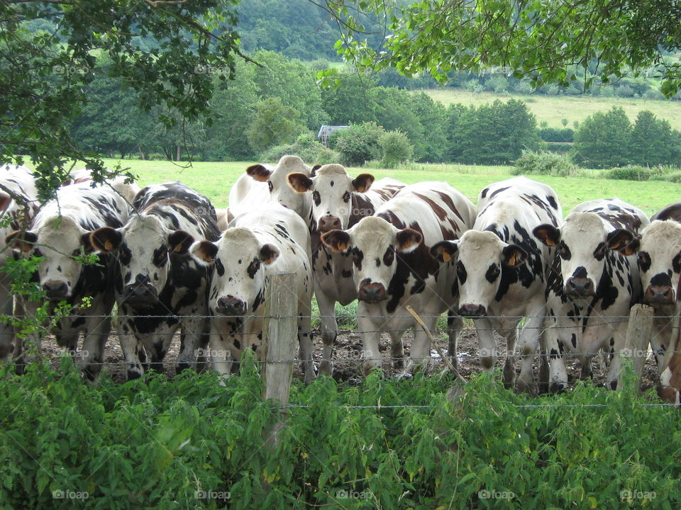 Portrait of cows