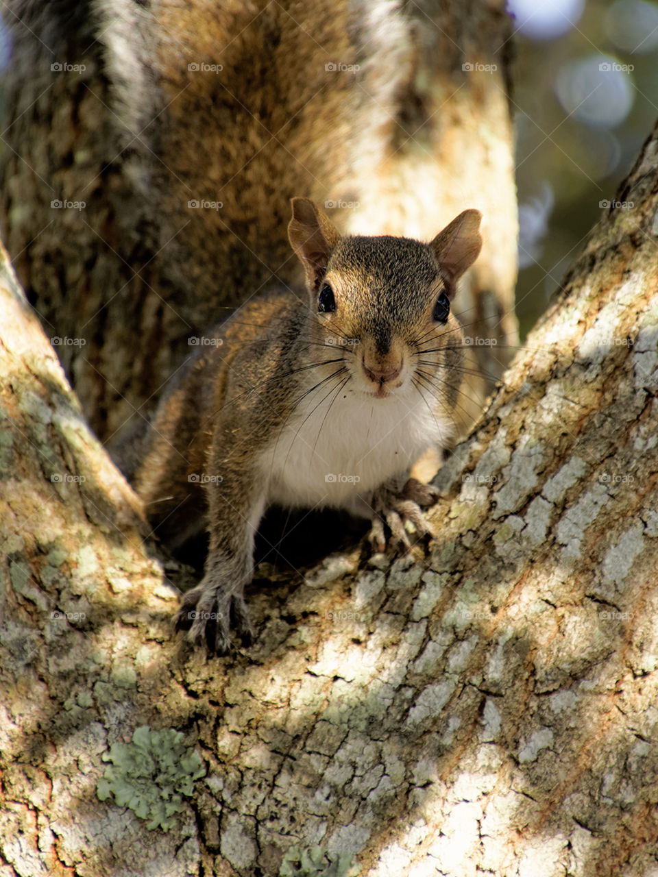 Staring Contest. Eastern Grey Squirrel staring direct ahead
