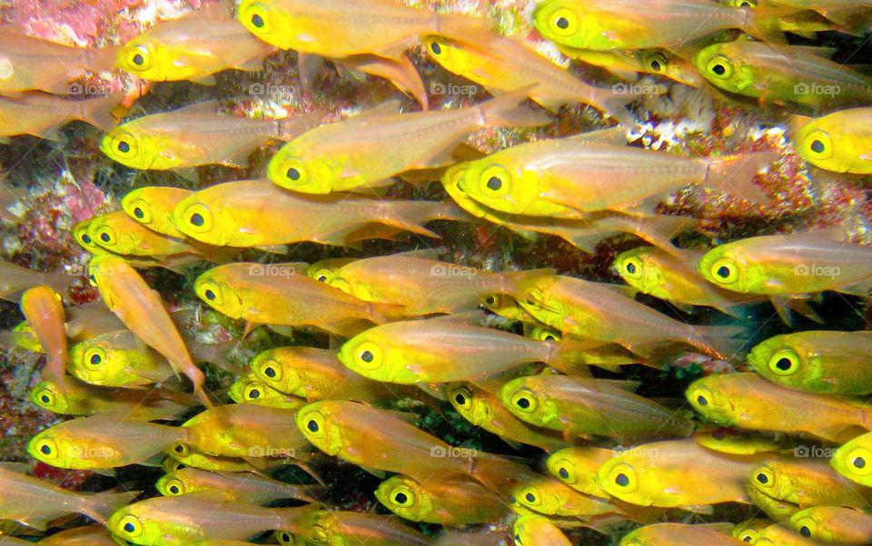 Yellow glass fish.