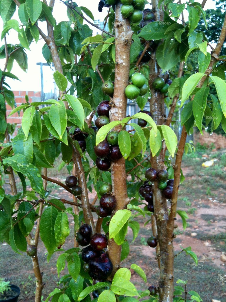 Jabuticaba tree