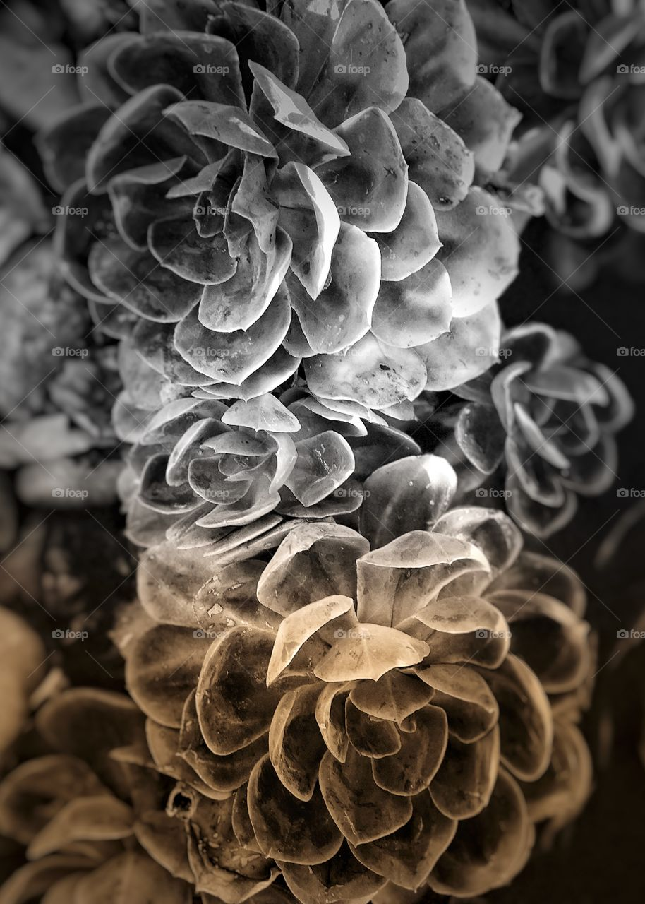 Dramatic and Stunning Monochromatic Succulents Perfect for Canvas Art, Landscape Architecture Marketing, Gardening Calendars , Screensavers, Greeting Cards.