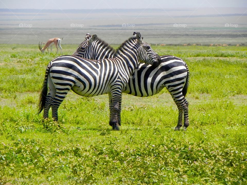 Zebras watching from where will be coming the predator