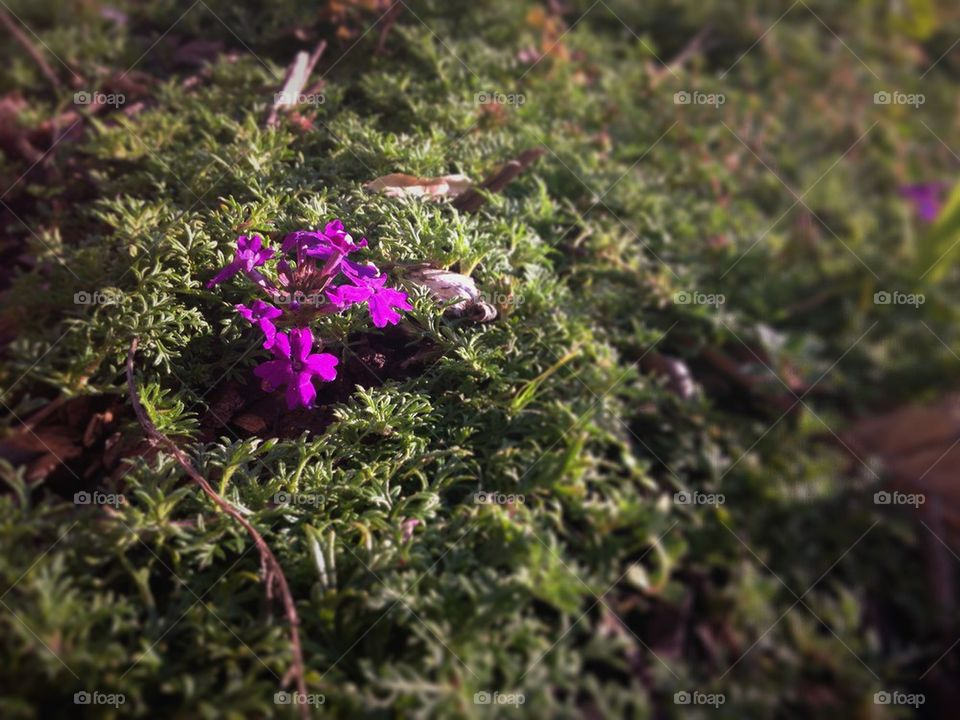 Purple Moss Verbena | muneca, growing, sunlight, blooming