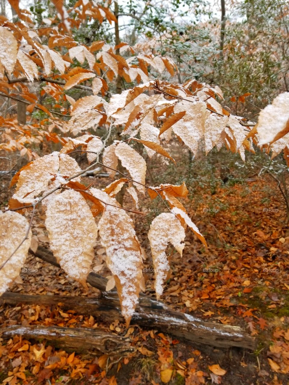 Leafs of Snow