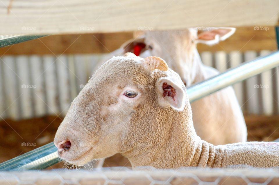 Cute lamb looking away