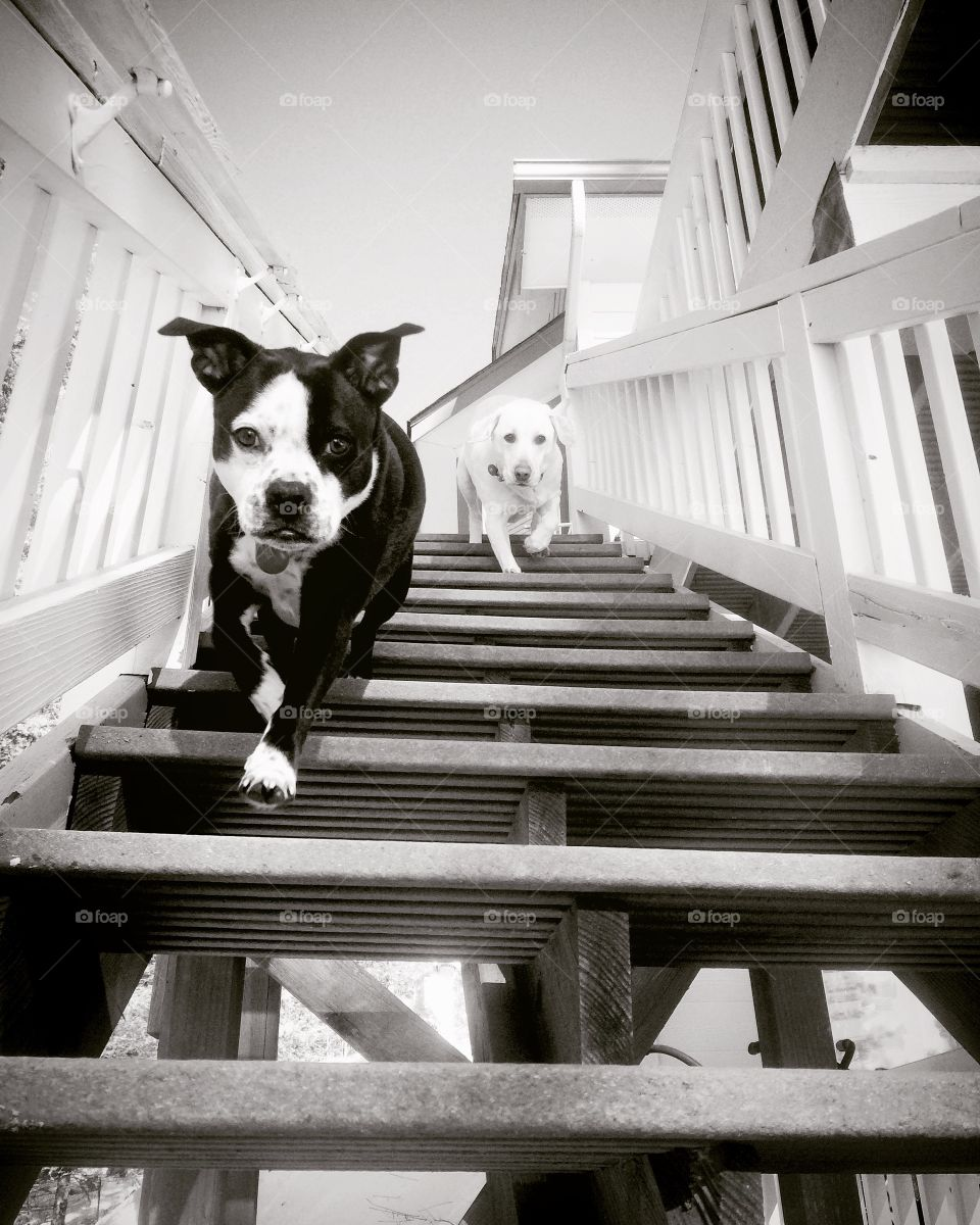 Two dog running on step