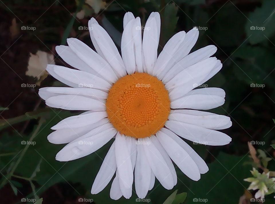ромашка.цветы.флора.