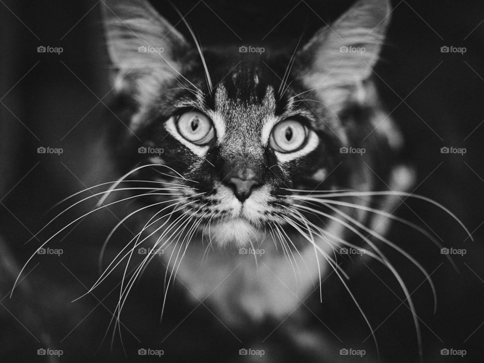 Perhaps one reason we are fascinated by cats is because such a small animal can contain so much independence, dignity, and freedom of spirit. Unlike the dog, the cat's personality is never bet on a human's. He demands acceptance on his own terms..