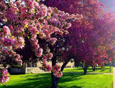 Blooming Crabapple Trees