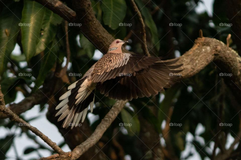 Common City Dove