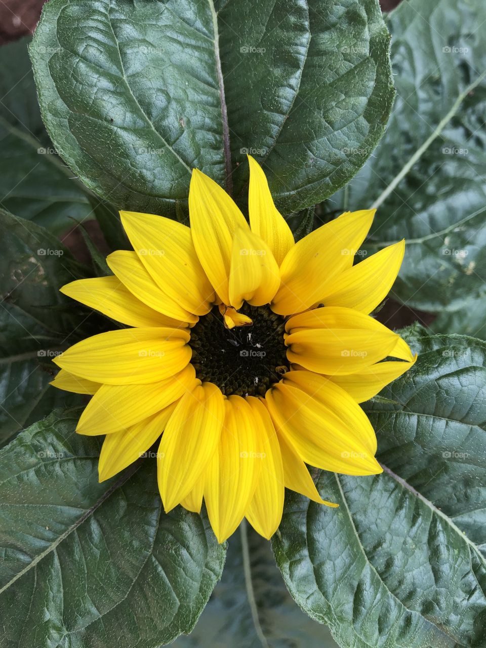 """We welcomed a new addition to our garden today, a very very lovely """"sunflower."""""""