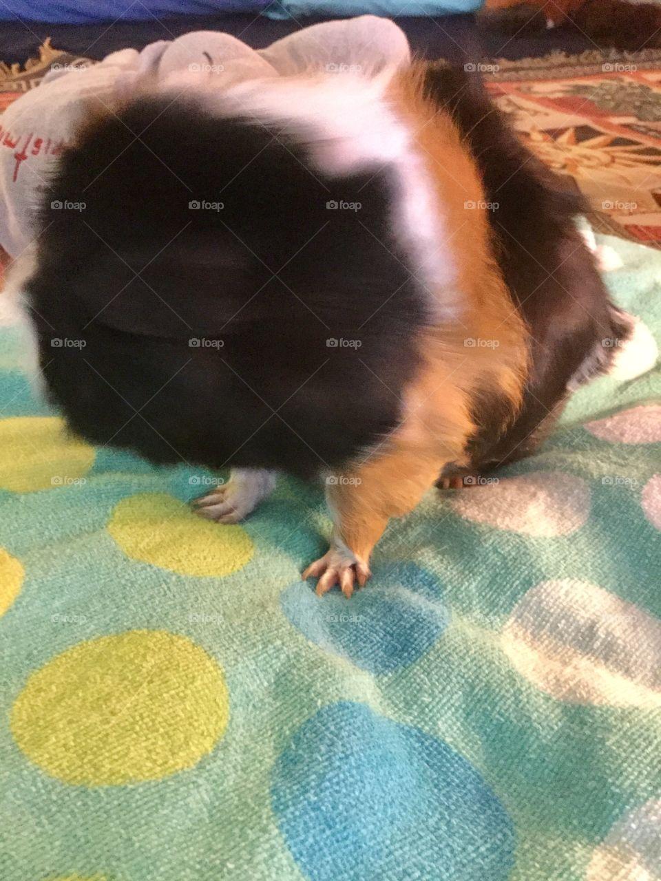 Little boy guinea pig