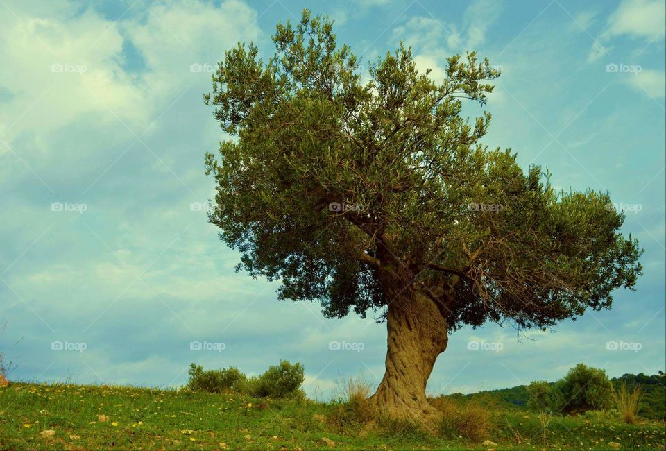 Greece photography Sun sunny spring olive tree