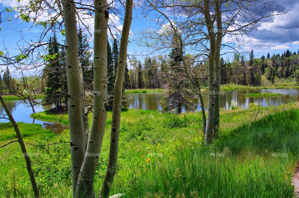 Aspens and Lake. Aspen trees at Canjilon Middle Lake in New Mexico near Lake Abiquiu.