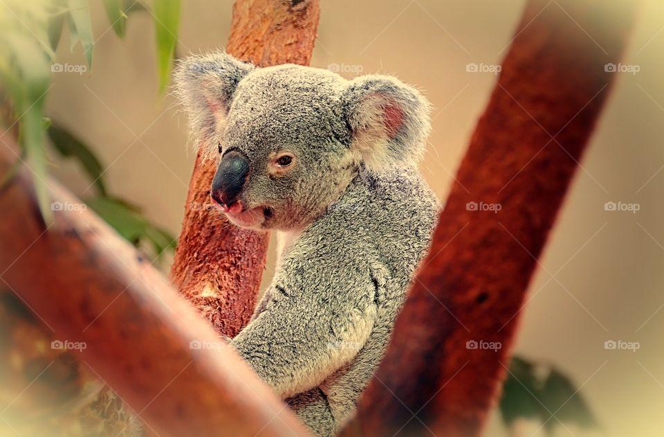 Portrait of a koala in a eucalyptus tree.