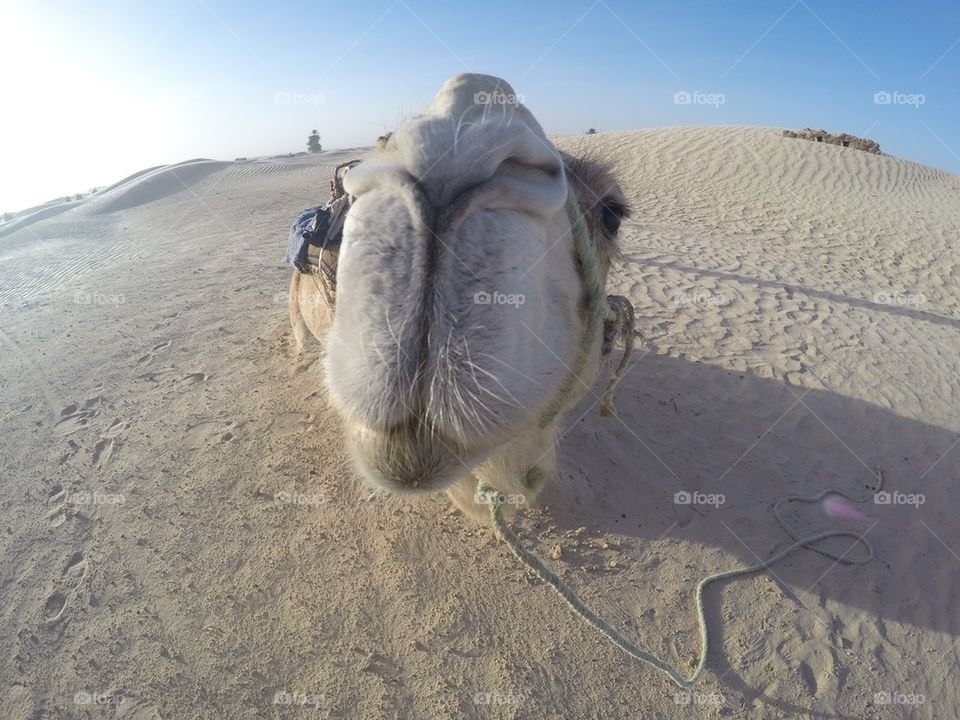 Camel close up/ selfie in the Sahara desert in Tunisia- shot with gopro