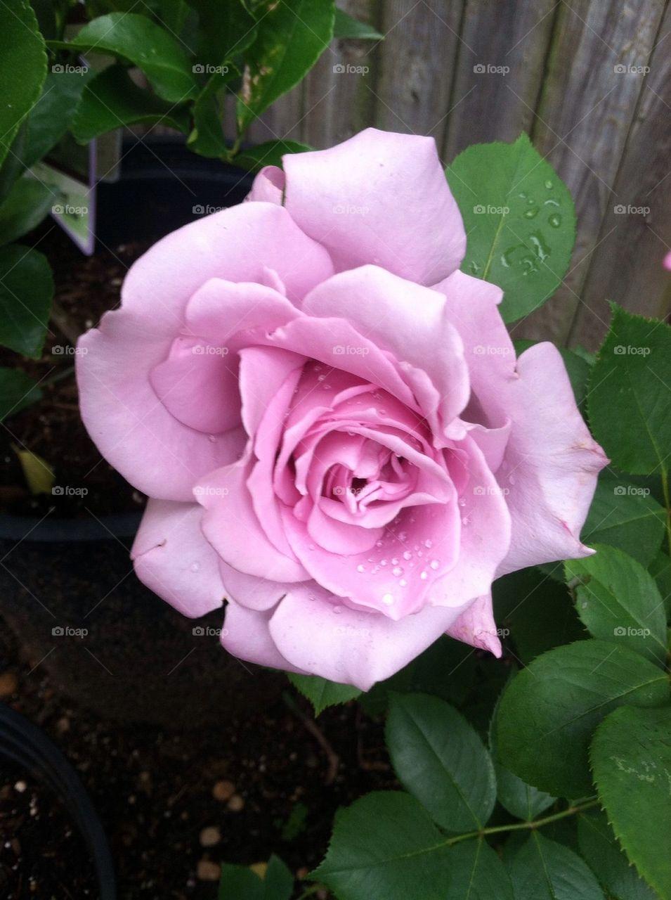 """Rose """"Blue Girl"""""""