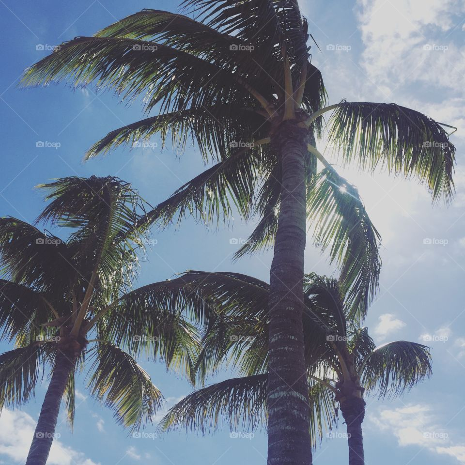 Palm, Tropical, No Person, Exotic, Coconut