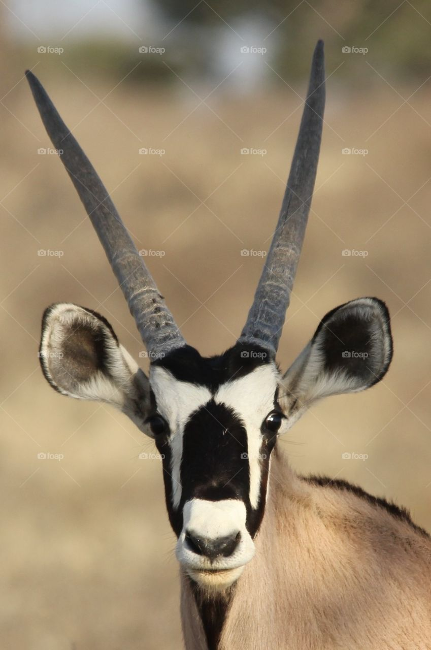Young oryx