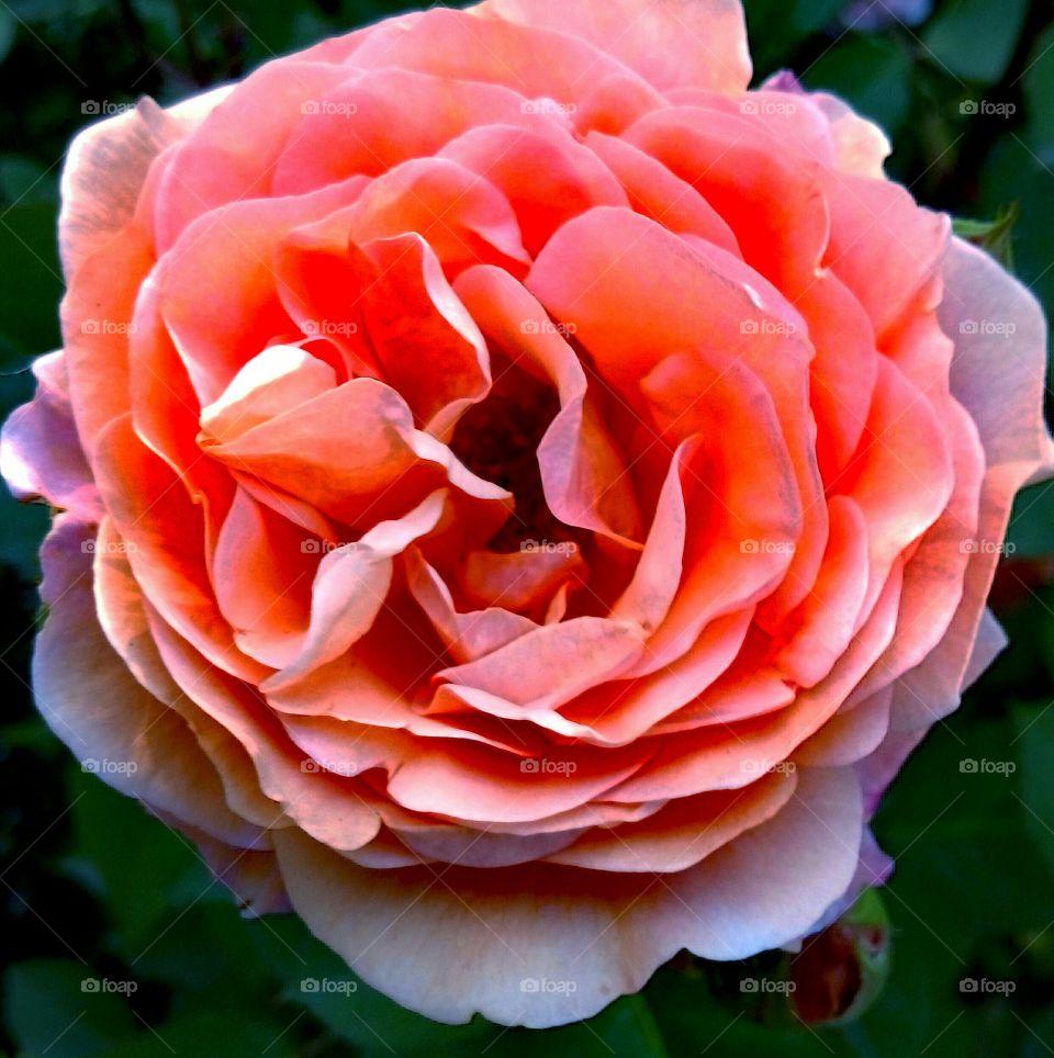 Beautiful blooming rose