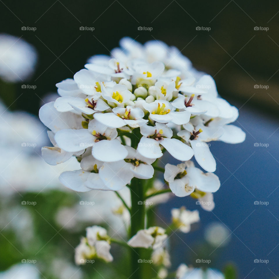 Beautiful tiny white flower close up macro.