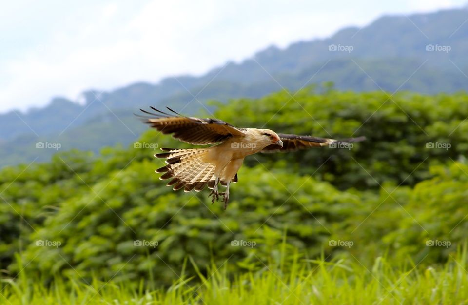 Eagle landing from flight in Costa Rica