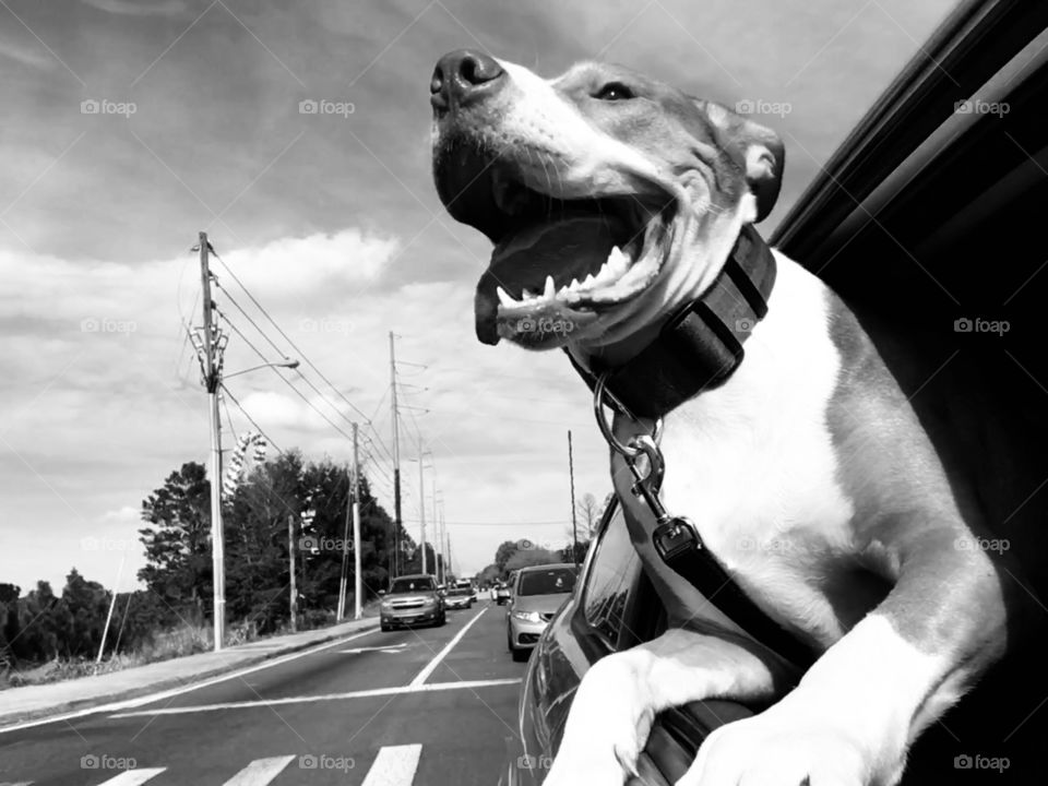 One happy rescue dog on a car ride in black and white.