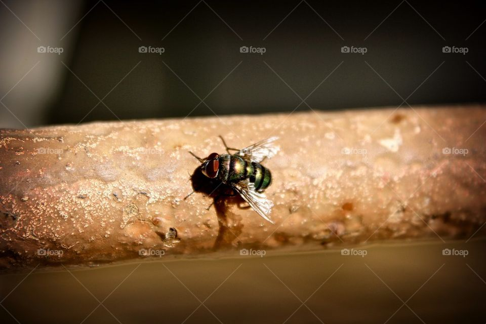African fly