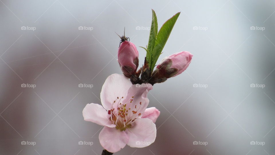 Peach tree blossoms with a fly