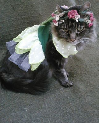 My cat Phoebe dressed up for Halloween