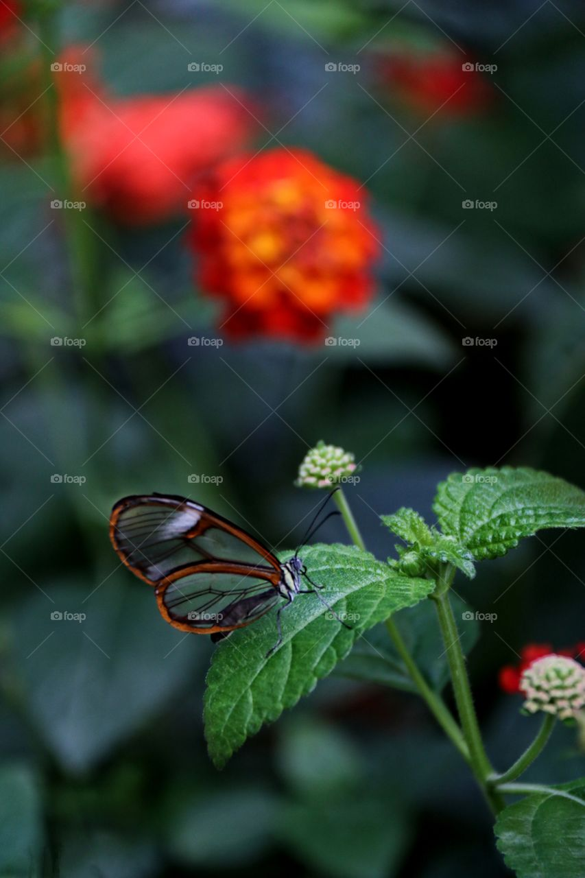 A transparent winged black butterfly resting atop a flower macro closeup
