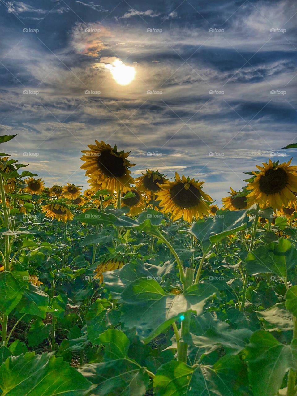 Sunflower farm field bright sun blue sky clouds
