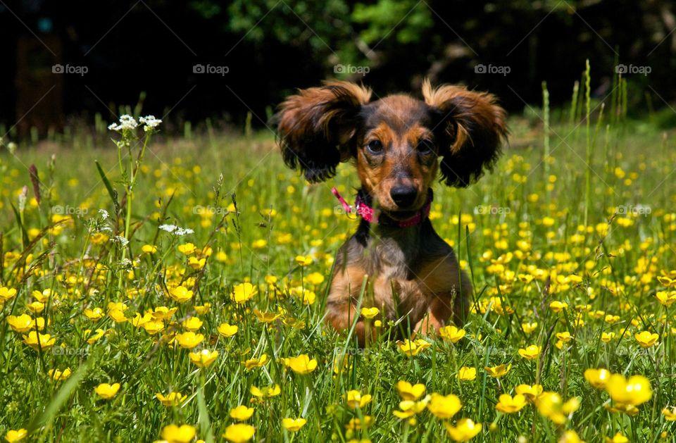 Dachshund in field