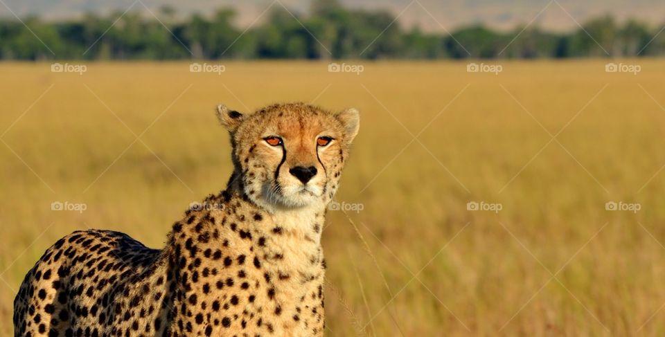 Close up of a Cheetah in Masai Mara, Kenya