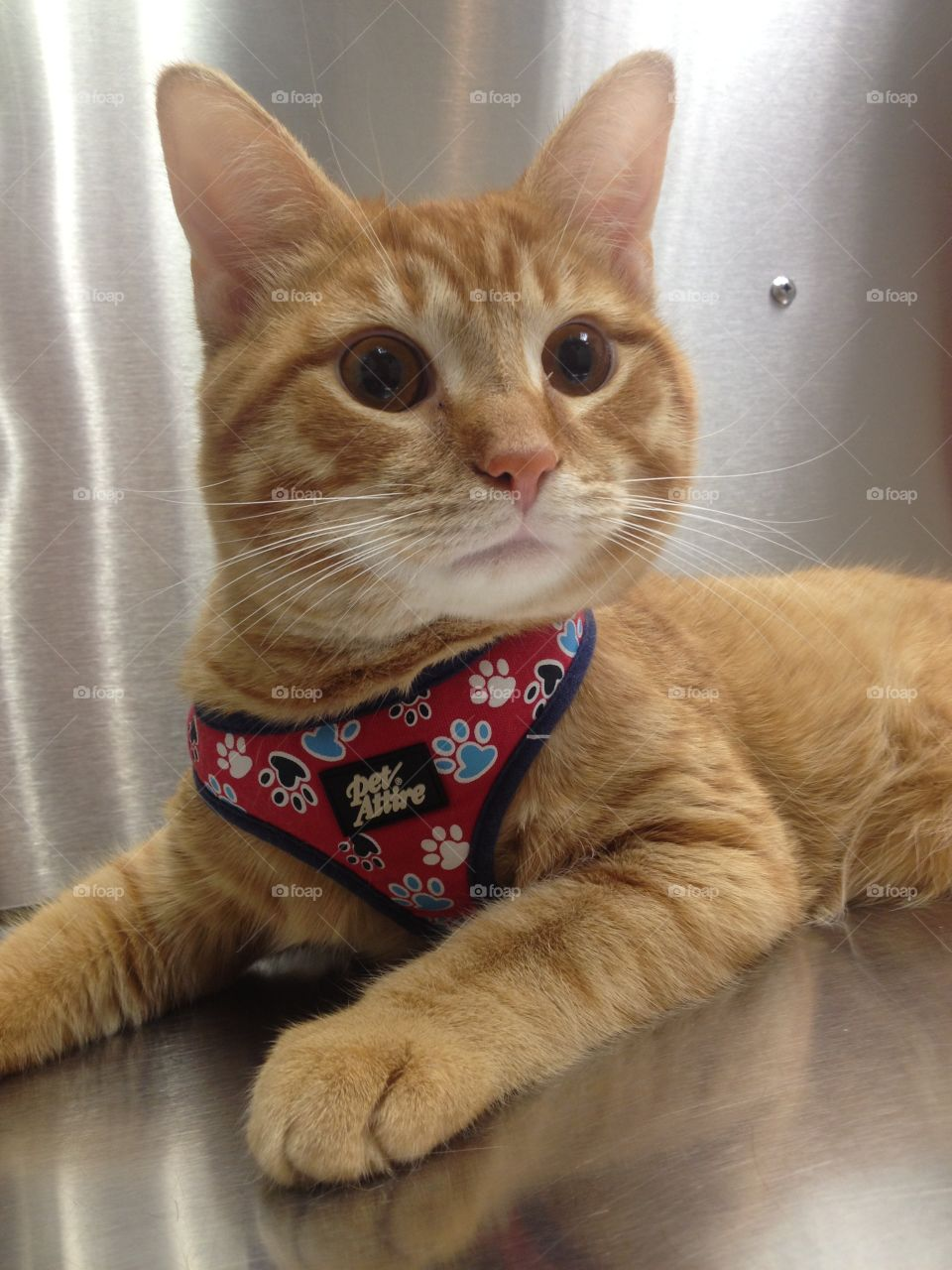 Orange Cat At Veterinary Office. Recently adopted orange shelter cat at veterinary office during yearly check up exam.