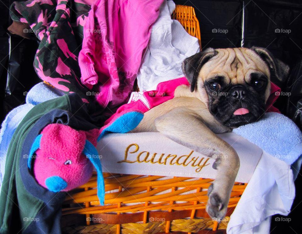 Pug sitting in laundry basket