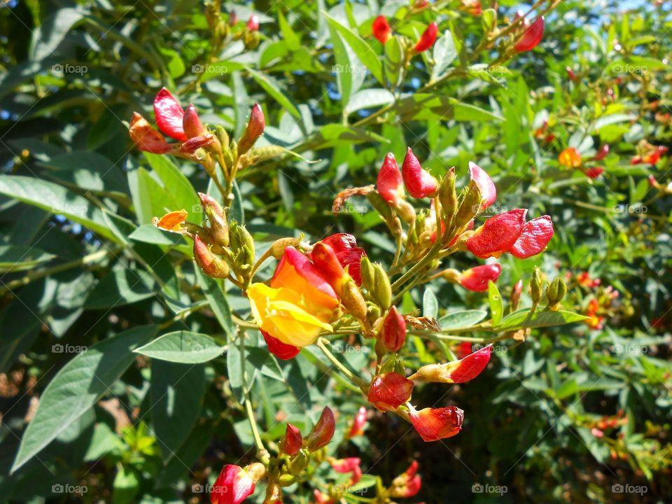 Gungo Peas Tree Blossom