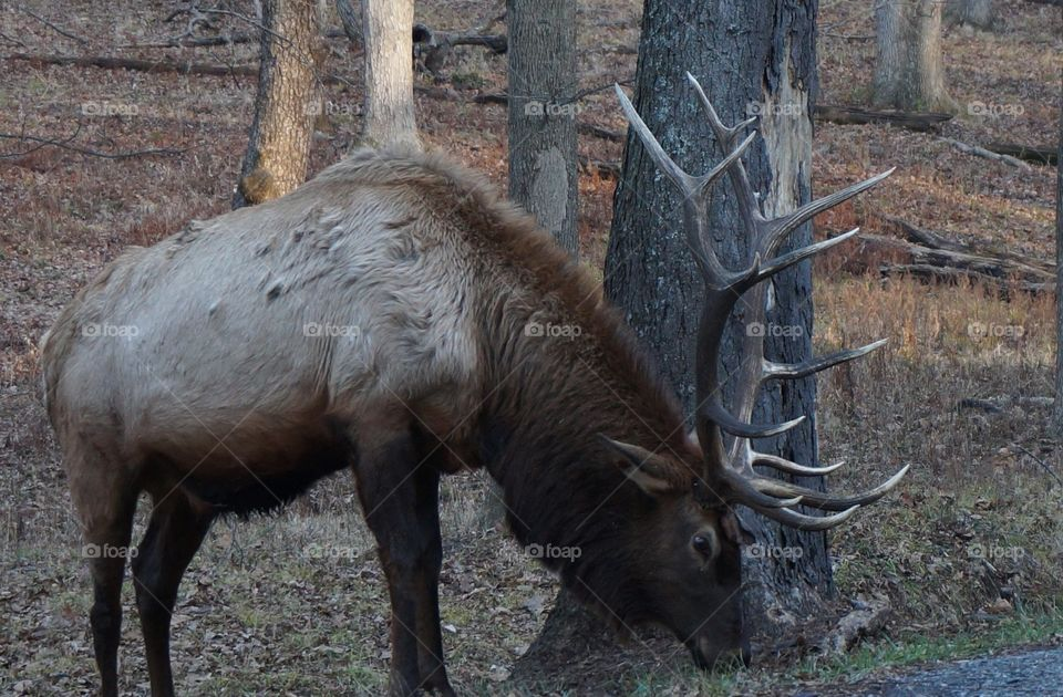 Profile of elk with large rack