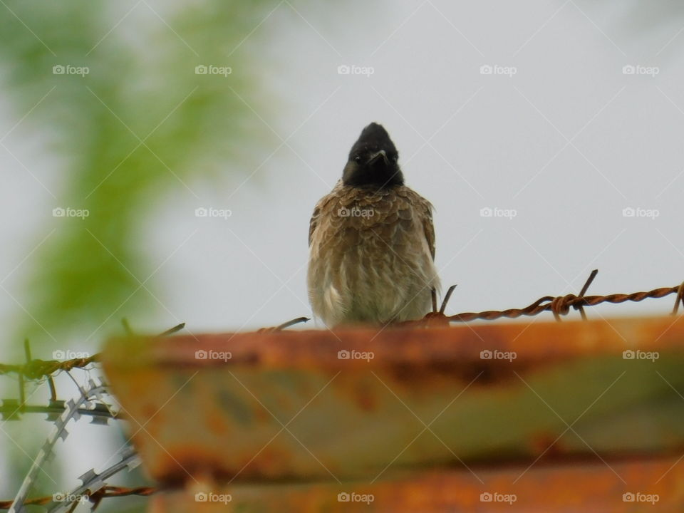 Red Vented bulbul Bird photography - Sitting and looking Bird in nature.