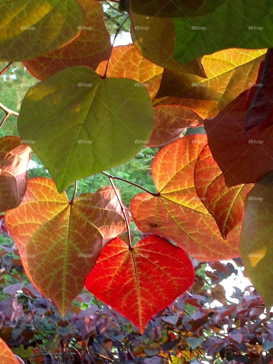 Leaves of Many Colors . Same tree, same branch
